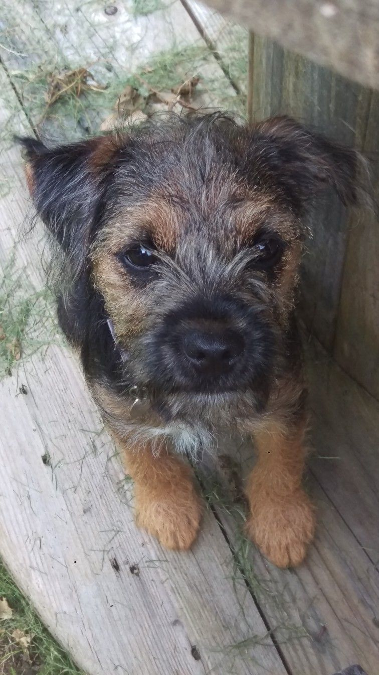 Pin By Lydia Zmek On Puppies Border Terrier Puppy Terrier Mix Dogs Border Terrier