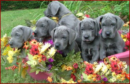Great Dane Patient And Friendly Great Dane Great Dane Dogs
