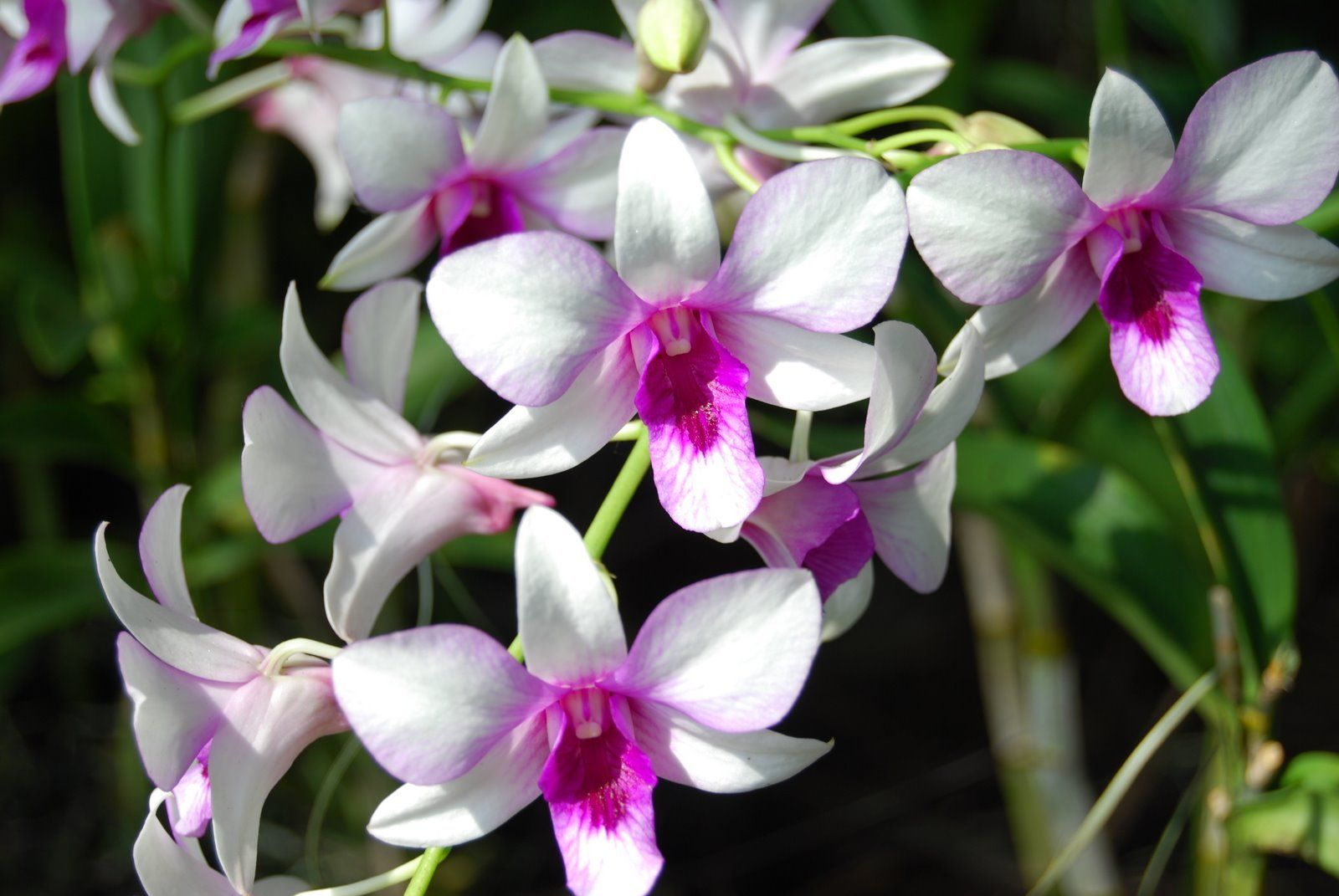 White orchid wallpaper orchids pinterest orchid flowers and