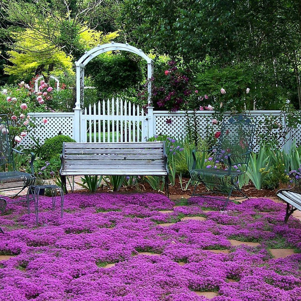 Creeping thyme fragrant groundcover garden paths hardy