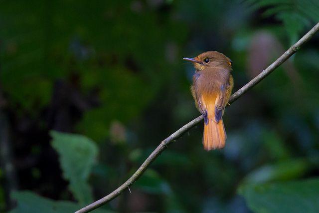 Foto maria-leque-do-sudeste (Onychorhynchus swainsoni) por Demis Bucci | Wiki Aves - A Enciclopédia das Aves do Brasil