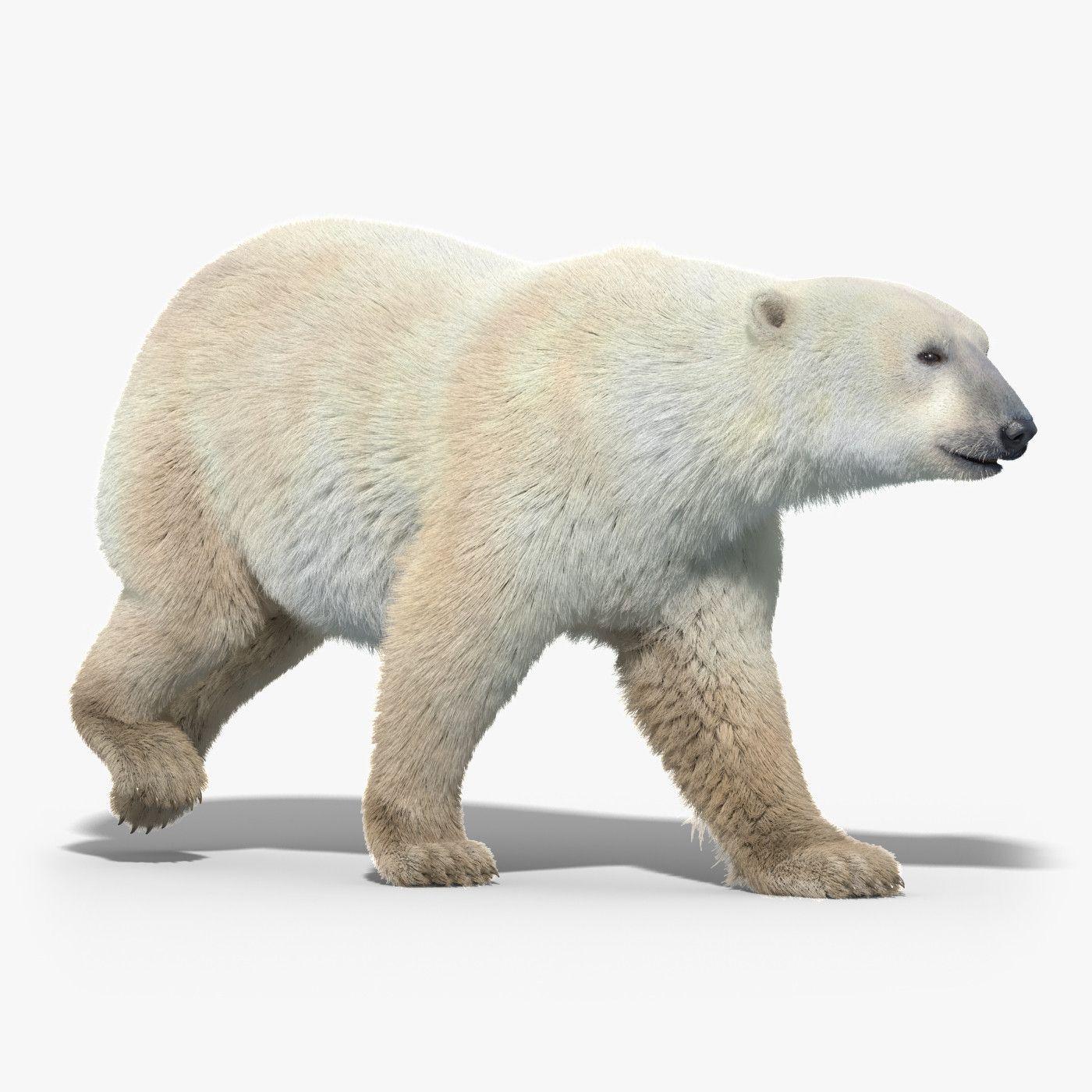 3d polar bear fur hair animation