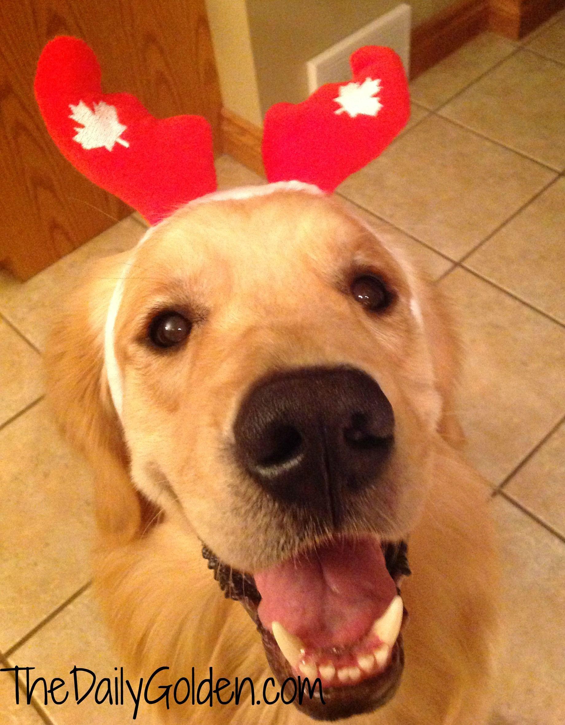 Tucker Canada Day Golden Retriever Dog Love