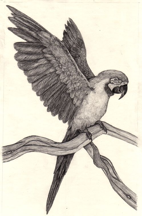 parrot drawings bing images birds parrot drawing