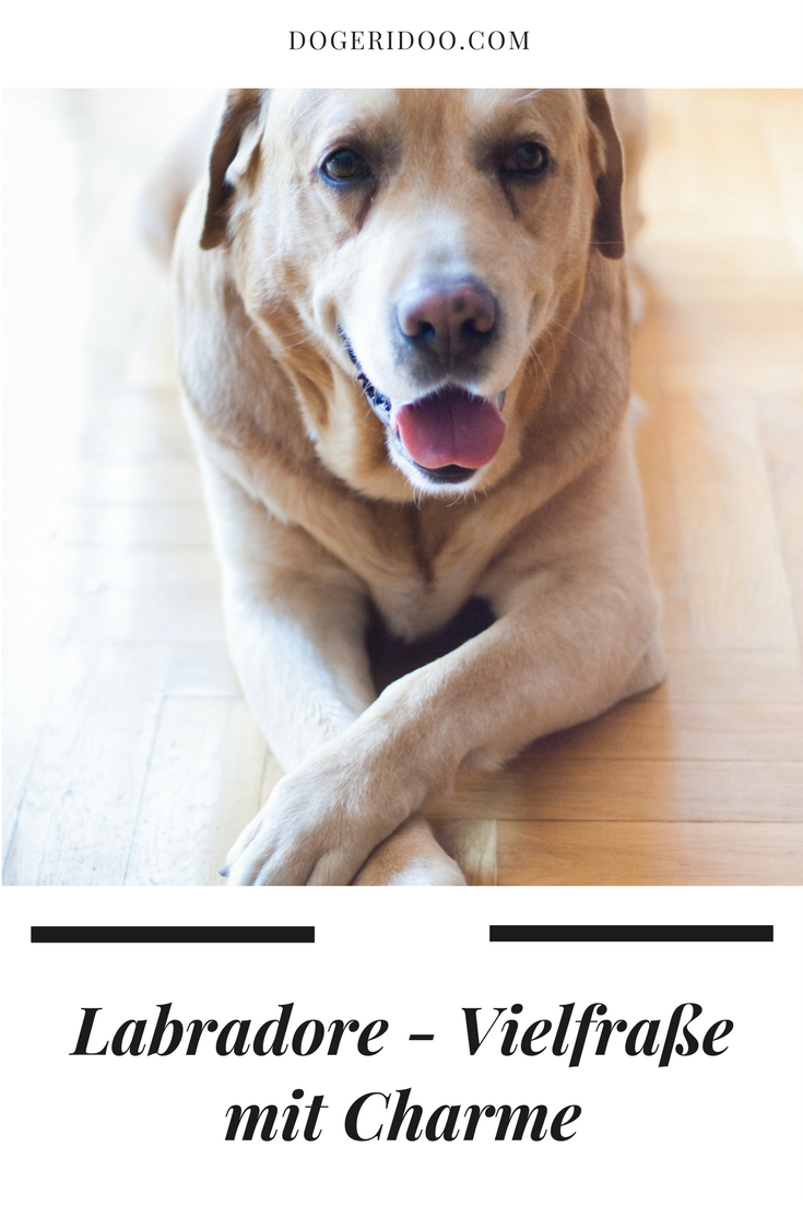 Hunger ist der zweite Vorname vom Labrador