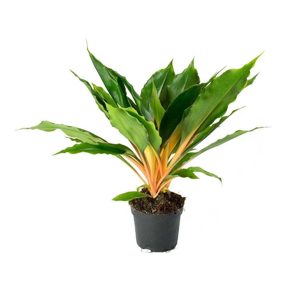 Chlorophytum orchidastrum Green Orange Plants, Air