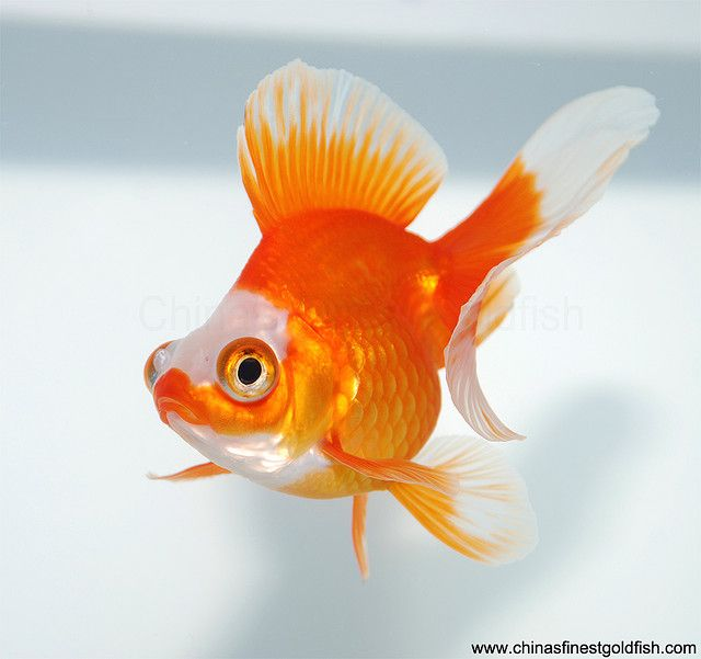 7 goldfish butterfly and fish for Can tropical fish live with goldfish