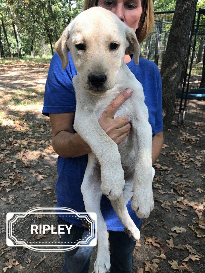 Mastiff dog for Adoption in Minneapolis, MN. ADN678116 on