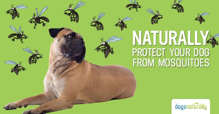 3 Natural Dog Mosquito Repellent Options Mosquito Repellent For Dogs Dogs Dogs Naturally Magazine