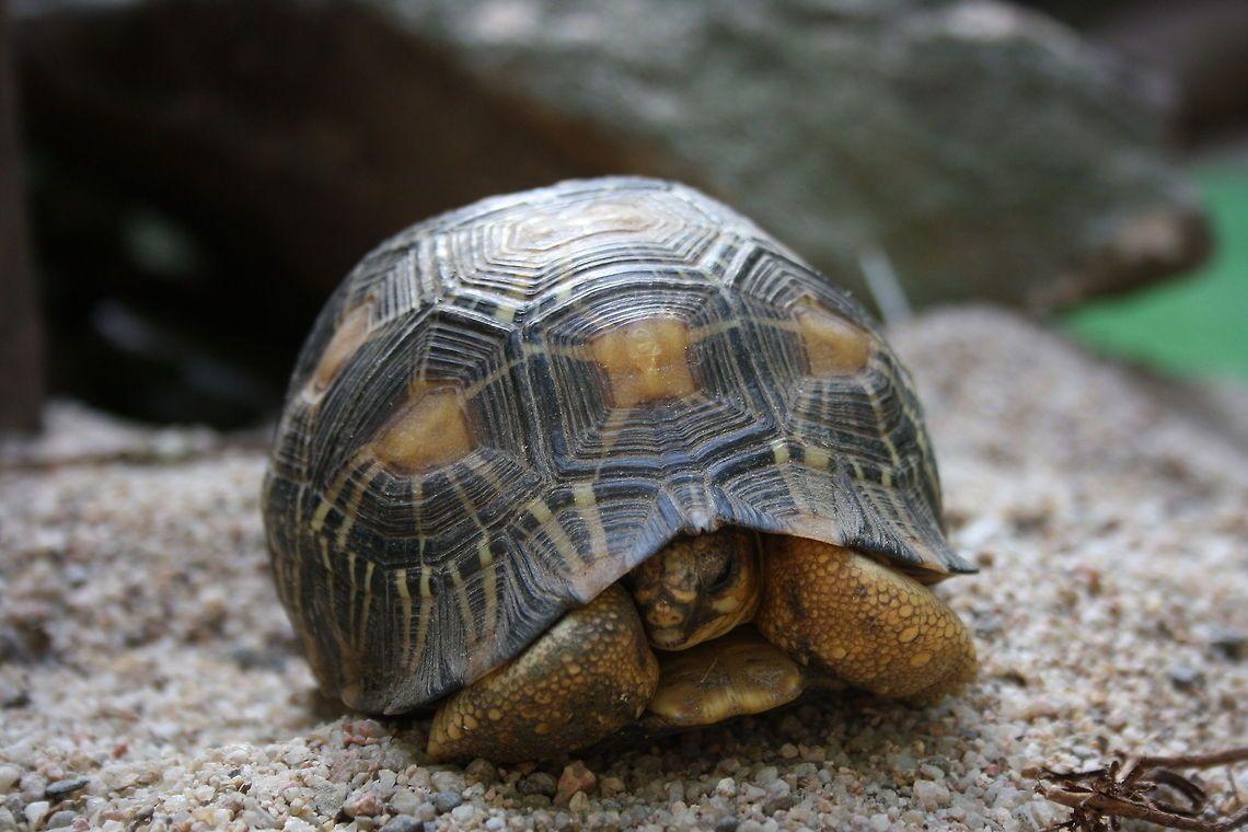 Indian star tortoise front view Geochelone elegans,Indian ...