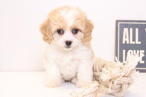 Cavachon Puppy For Sale In Naples Fl Adn 28876 On Puppyfinder