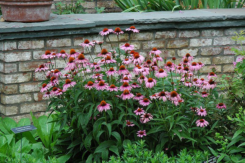 Magnus Coneflower Echinacea Purpurea Magnus At Gertens Plants Echinacea Purpurea Echinacea