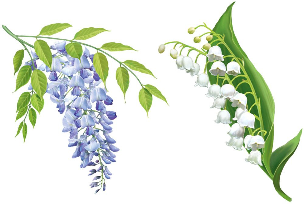 Lily Of The Valley Botanical Drawing Lily of the valley