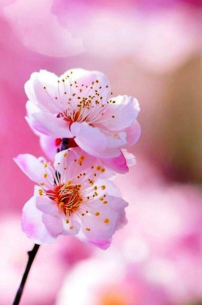 Lovely I Liked Cherry Blossom Flowers Flower Aesthetic Flower Phone Wallpaper
