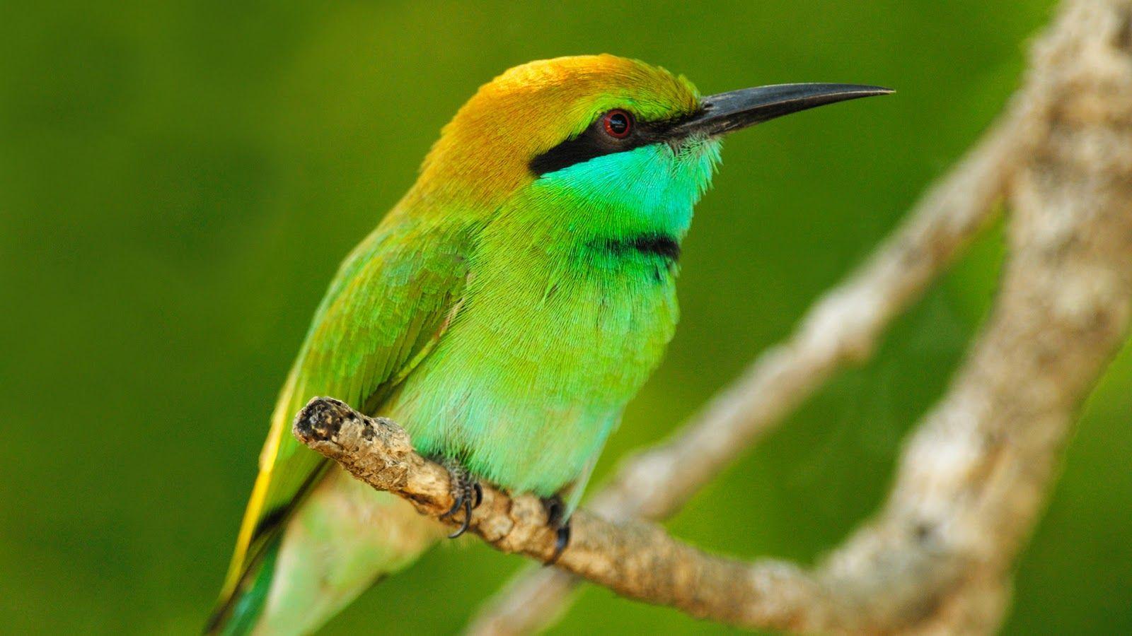 Green Bird Wallpapers Fugle