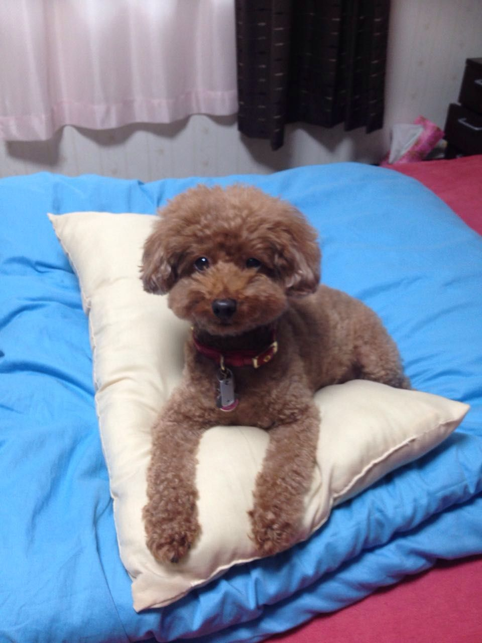 Pin By Hikaru Takimoto On Pinterest Poodle Poodle Cuts And Dog