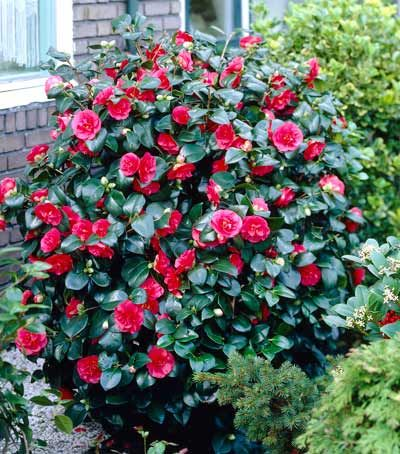 Kramers Supreme Camellia Shrub Camellia Plant Shrubs For Sale Shrubs