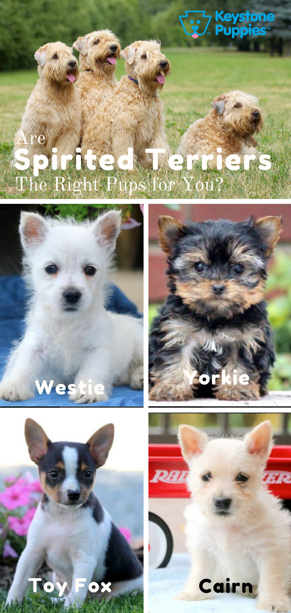 Are Spirited Terriers Right For You Puppies Terrier Breeds Terrier