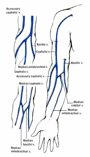 At the level of the elbow, three veins make an M shape: the Cephalic vein  (radial), the Basilic vein (ulnar) an… | Vascular ultrasound, Medical  anatomy, PhlebotomyPinterest