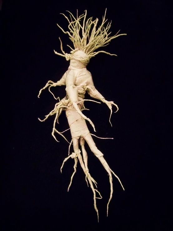 Mandrake Root Baneful Toxic Not To Be Ingested Or Used Internally A Whole Placed On The Mantel In Home Will Give House