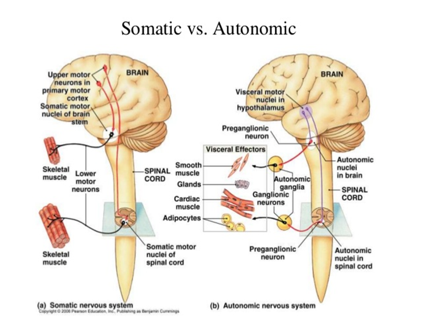 peripheral nervous system 1 somatic nervous system