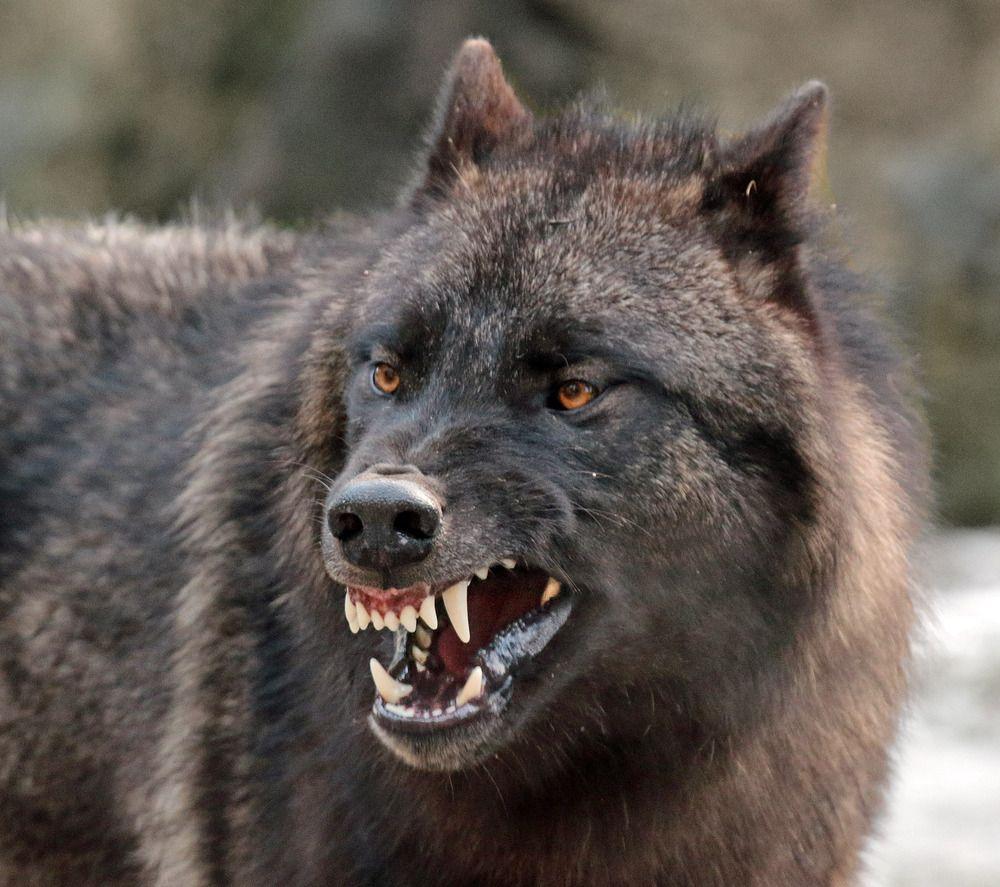 Black wolf tumblr linda pinterest wolf animal and black