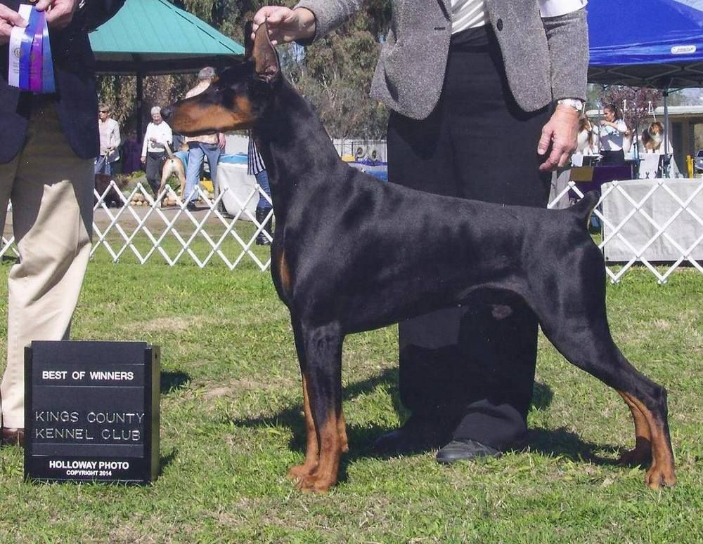 10969127_900934473298104_835320720_o.jpg Doberman, Dogs