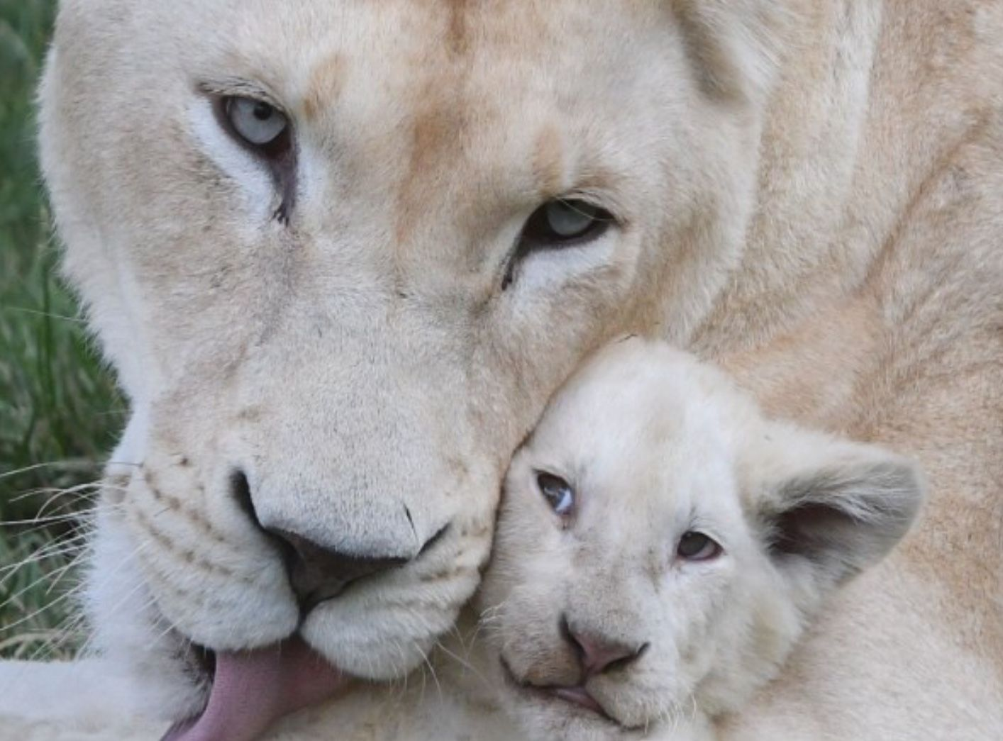 Breeding Novelty Animals For Trophy Hunting Animals Rare