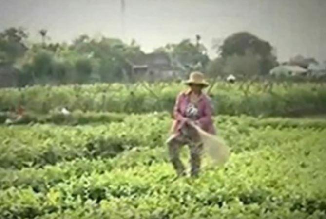 """""""Cây chổi quét rau"""" khiến nông dân không bán được rau - http://www.daikynguyenvn.com/viet-nam/cay-choi-quet-rau-khien-nong-dan-khong-ban-duoc-rau.html"""