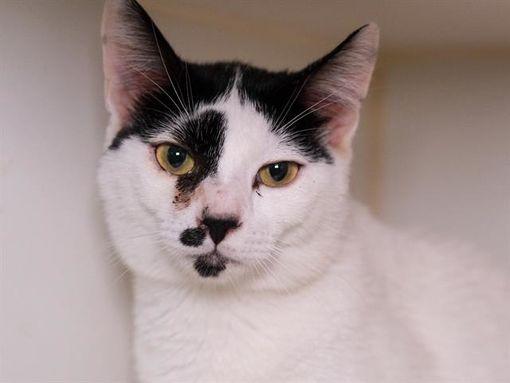 Austin, TX Domestic Shorthair. Meet a Pet for Adoption