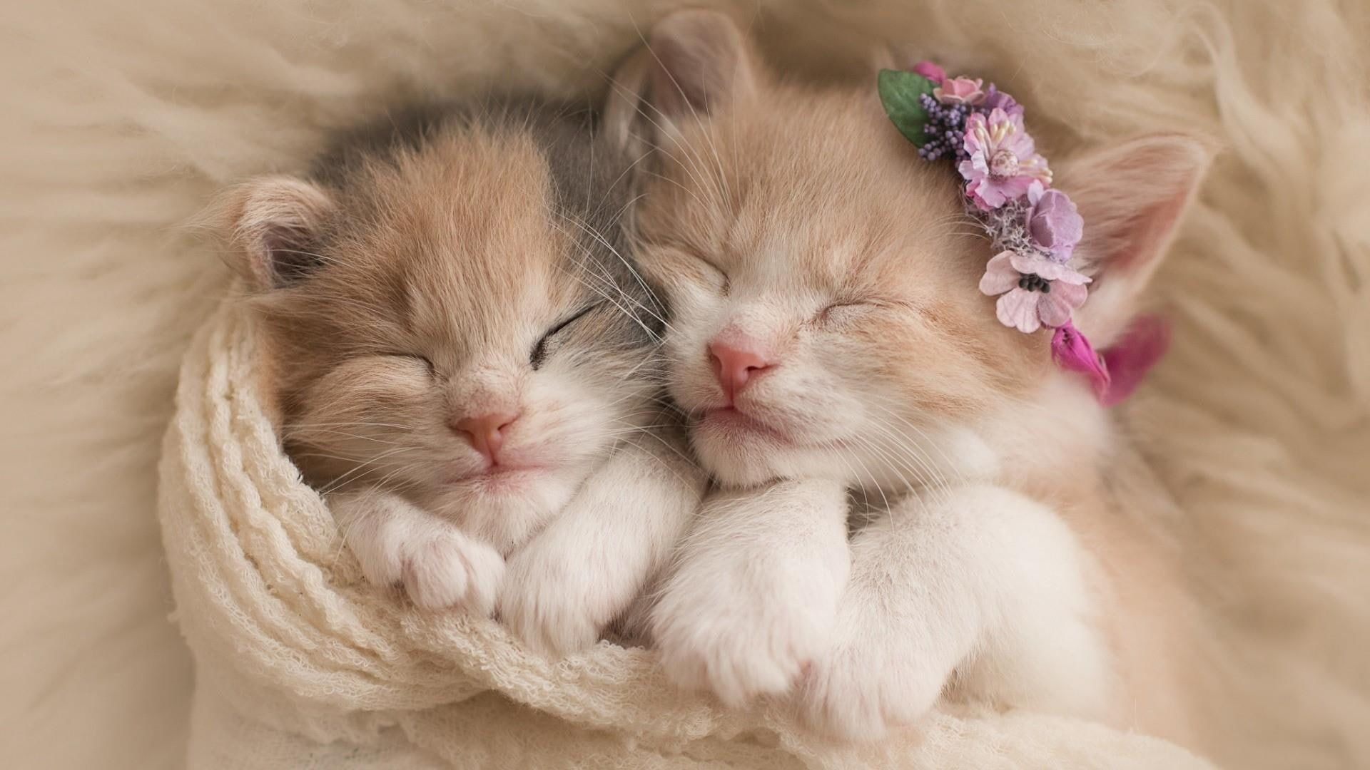 Two White And Orange Tabby Kittens Kitty Cat Cats Sleep Sleeping Cute Funny 1080p Wallpaper Hdwallpaper Kittens Cutest Cute Little Kittens Cute Cats