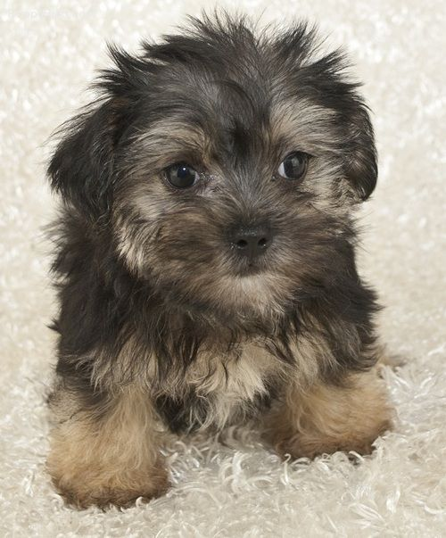 Morkie Pictures 530348c413t Morkie Morkie Puppies For Sale Morkie Puppies