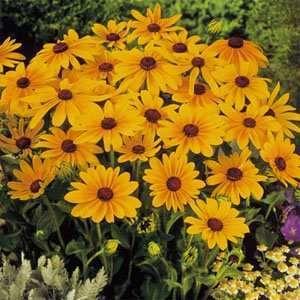 Black-eyed Susan (Rudbeckia hirta) 'Marmalade'