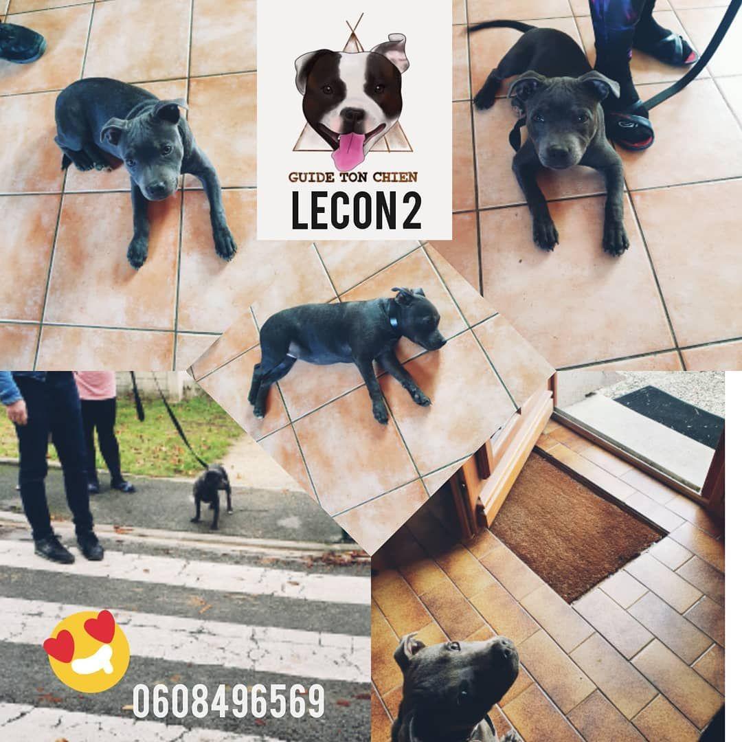 Lecon 2 Pour La Belle Phœnix Petite Staffie Energique On Revoit Le Passage De La Porte Pour La Mettre En Securite On Apprend Le Coucher Afin Animals Dogs