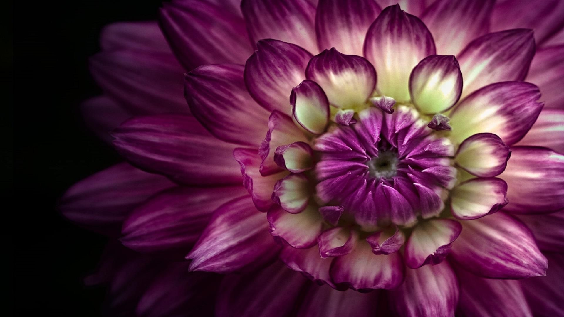 Hd Large Purple Dahlia Wallpaper Macro Photography Flowers Beautiful Flowers Photography Macro Flower