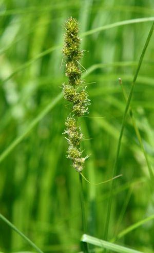 Carex Vulpinoidea Fox Sedge From North Creek Nurseries Plants North Creek Wetland