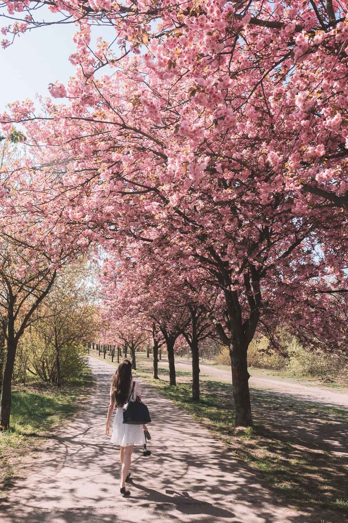 The Best Spots To View Cherry Blossoms In Berlin Berlin Travel Europe Trip Itinerary Europe Travel Outfits Summer