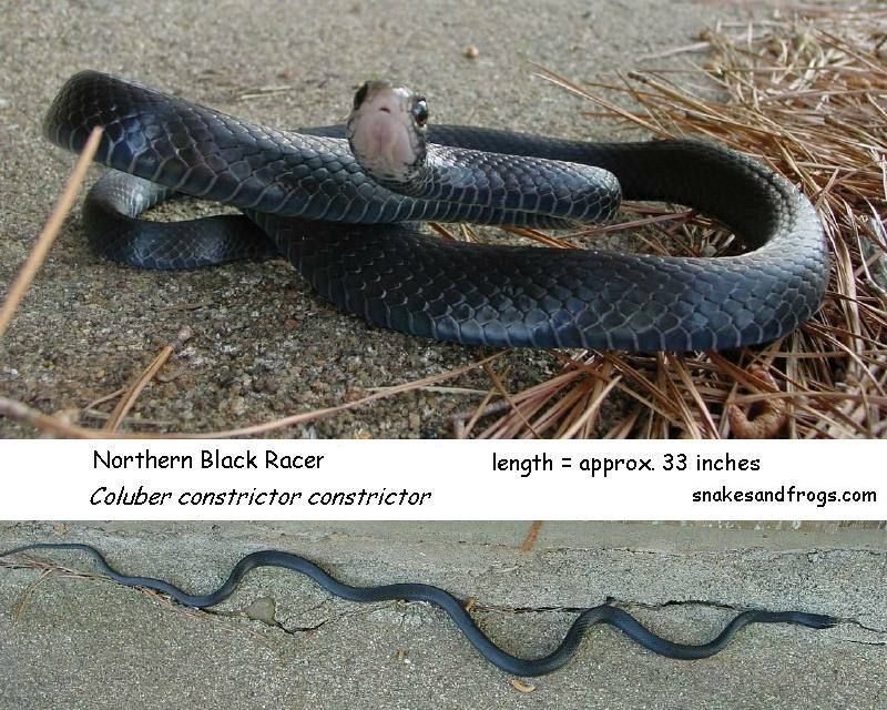 Northern Black Racer Snakes A Snake