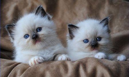 Two Cute Ragdoll Kittens Desktop Nexus Wallpapers Kittens