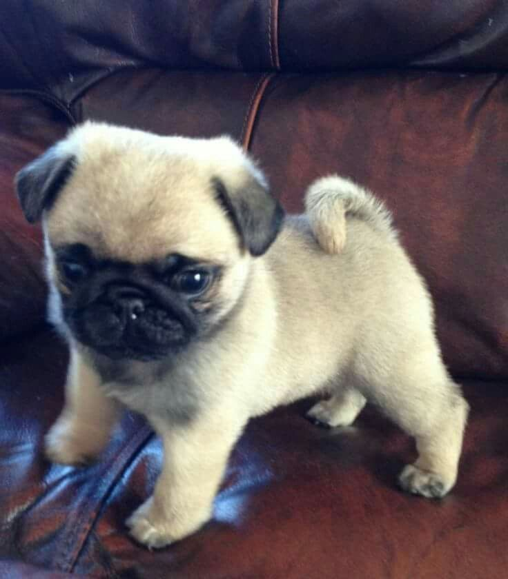 Amazing Pug Canine Adorable Dog - c39da1b84f396cd13f9e50f7ad4c3341  2018_127019  .jpg