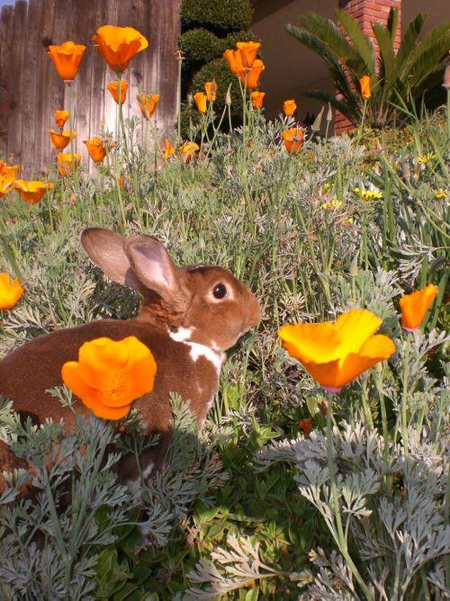 A Broken Rex bunny exploring California Poppies.