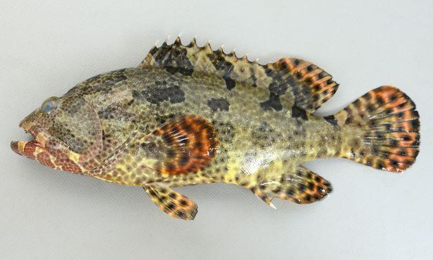 Epinephelus Fuscoguttatus Brown Marbled Grouper Grouper Fish Turtle