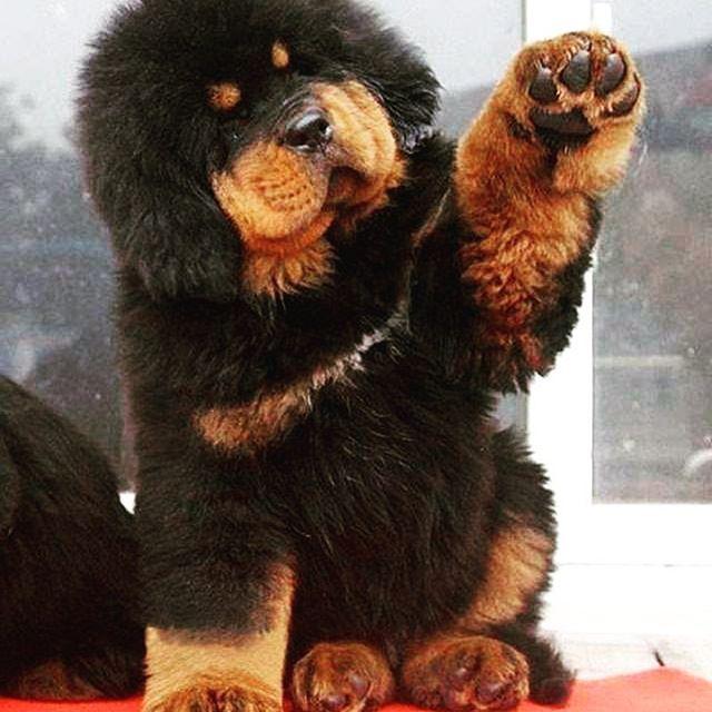 Beautiful Tibetan Mastiff Chubby Adorable Dog - c39df4c149f9e0d15de8b2b0932ad71a  Picture_124128  .jpg
