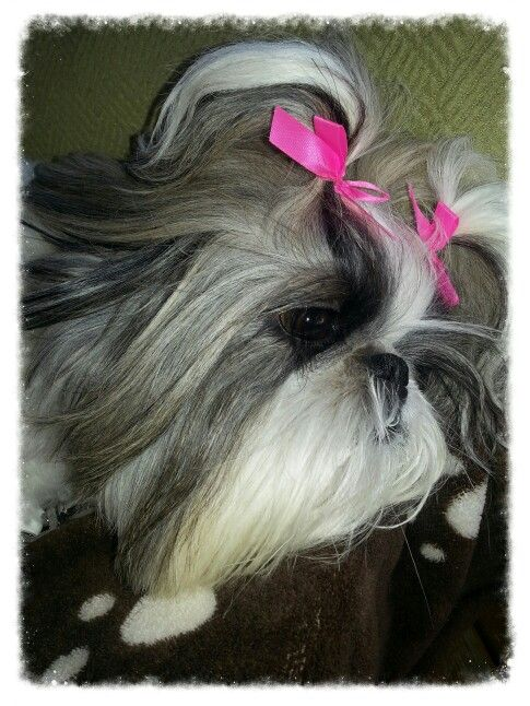 My Little Sophie Chilling At Cannon Beach Shih Tzu Dog Fur Babies Cute Dogs