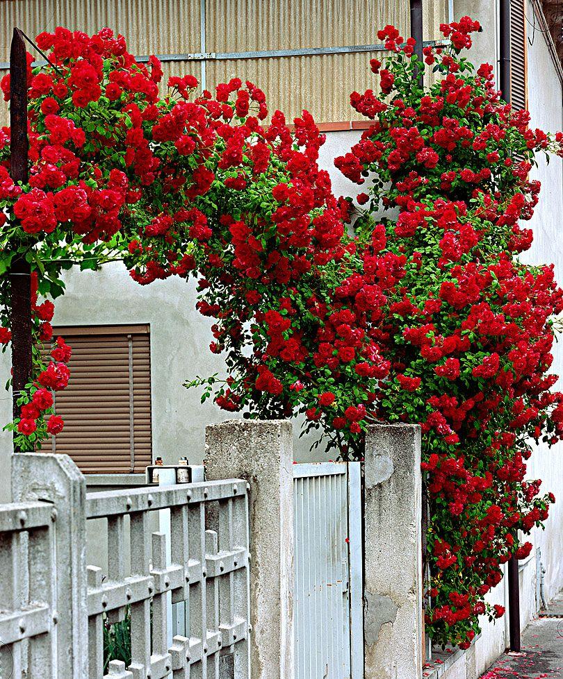 Rosa Rampicante In Vaso pin di jana su gardening and flowers | rose rampicanti