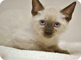 Phoenix Az Siamese Meet Christofur A Kitten For Adoption Kitten Adoption Kitten Pets