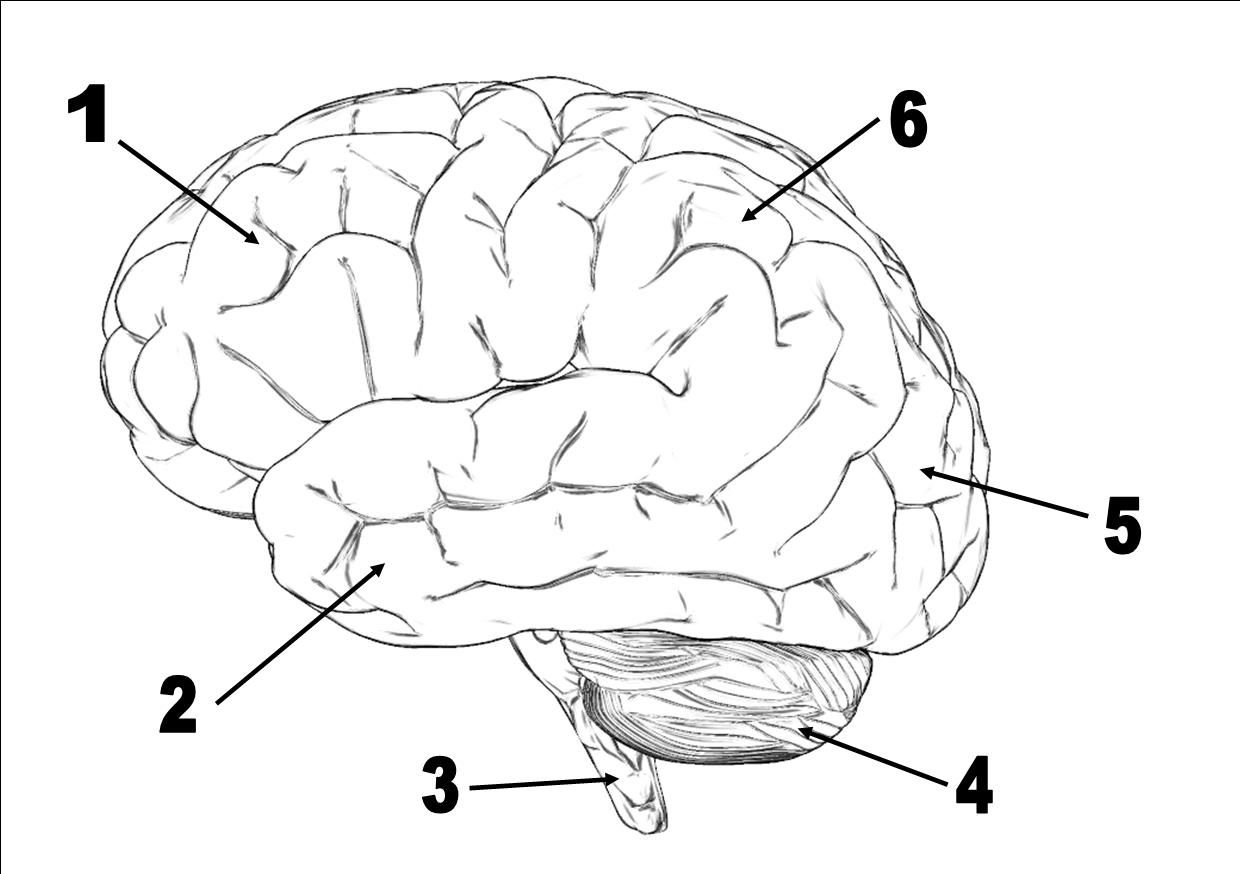 Brain Diagrams To Label Human Brain Without Labeling Brain Diagram