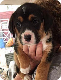 Grafton, WI - Boxer Mix. Meet SPONSOR/FOSTER ME-Edison, a puppy for adoption. http://www.adoptapet.com/pet/17964240-grafton-wisconsin-boxer-mix
