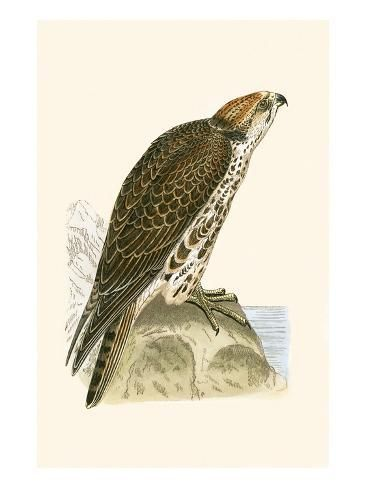 Giclee Print: Saker Falcon, from 'A History of the Birds of Europe Not Observed in the British Isles' by English : 24x18in #britishisles