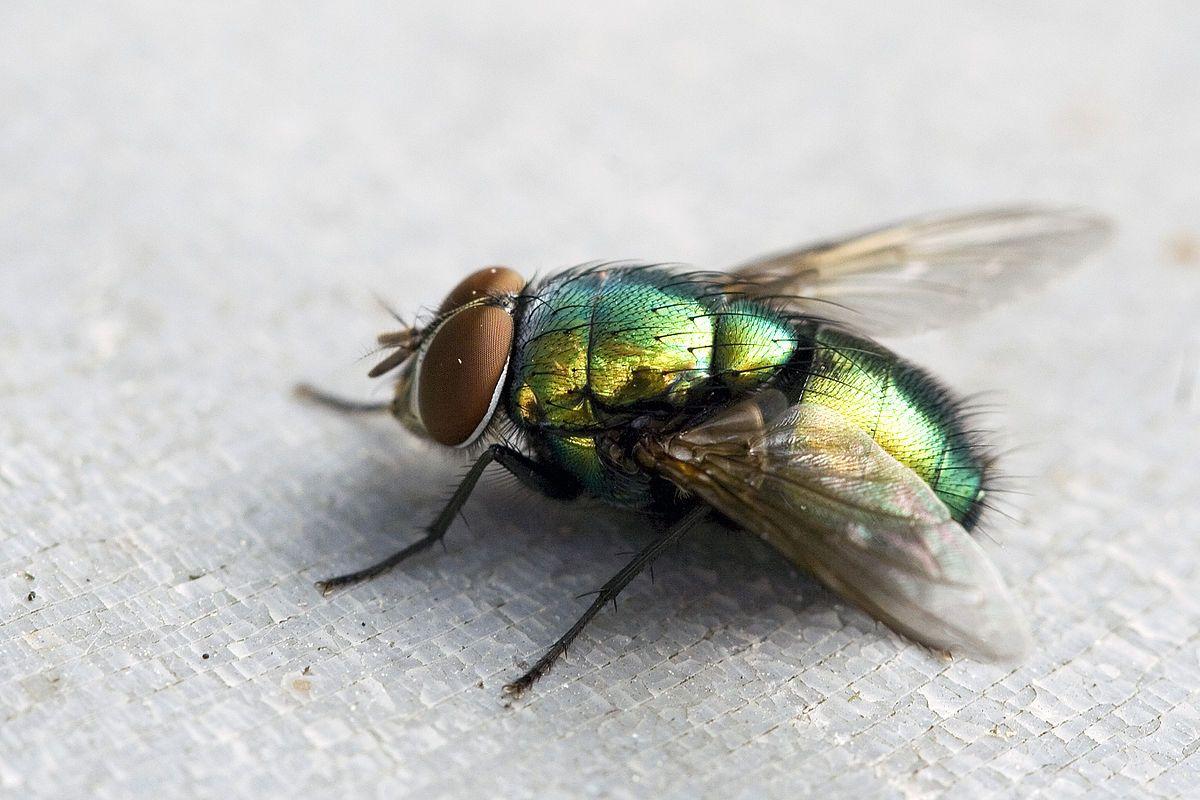 Comment Se Débarrasser De Moucherons Naturellement pin op mouches
